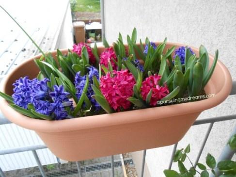 Bunga Hyacinth harum semerbak