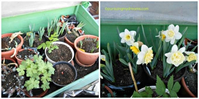 Narcissus Dafodillis
