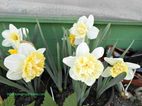 Bunga Narcissus double ice king 2017