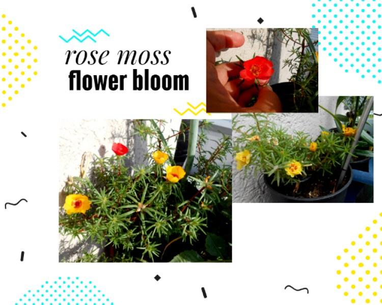 Moss Rose flower bloom. Bunga moss ross