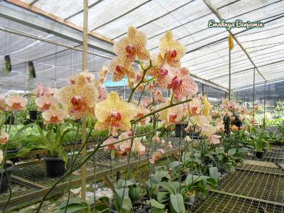 Beautiful Phalaenopsis. At Anggrek Park Ragunan
