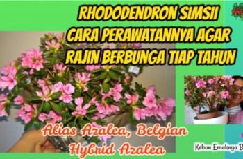 Cara Merawat Rhododendron Simsii Agar Rajin Berbunga Tiap tahun