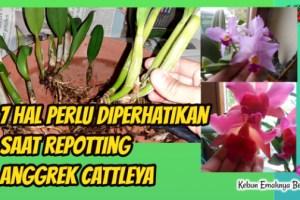 7 Hal Perlu diperhatikan Saat Repotting Anggrek Cattleya