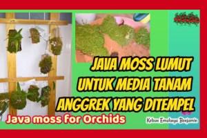 Media Tanam Anggrek yang Ditempel Java Moss Lumut Hidup