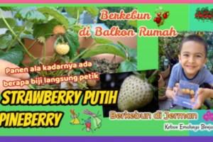 Petik Buah Strawberry Putih Pineberry | Berkebun di Balkon Rumah
