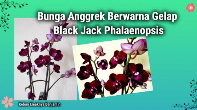 Uniknya Bunga Anggrek Bulan Hitam Phalaenopsis Blackjack