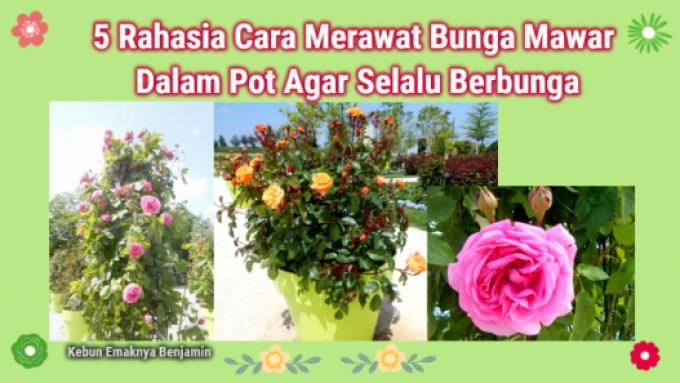 5 Rahasia Cara Merawat Bunga Mawar Dalam Pot Agar Selalu Berbunga