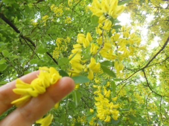Laburnum Pohon Hujan Emas yang Mirip Wisteria