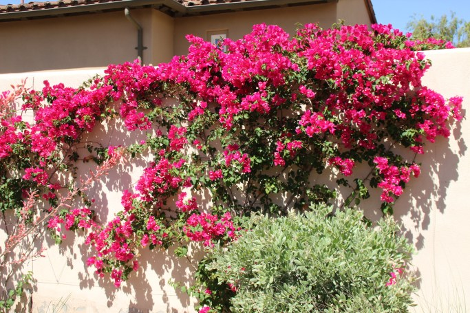 Bourgainvillea in Scottsdale, Arizona