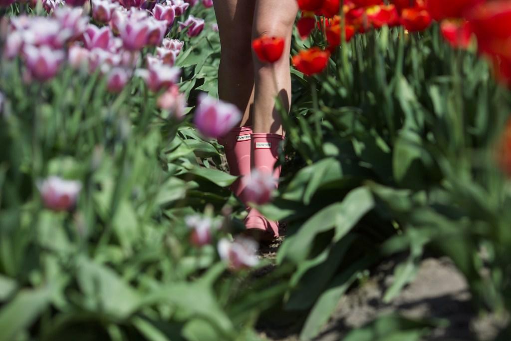 Bucket List Travel: Tulip Festival in Abbotsford, British Columbia, Canada - tulip fields spring photography