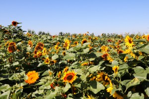 Abbotsford Sunflower Festival - Taves Family Farm - eco-tourism - Canada - British Columbia - Travel the sunflower field trail