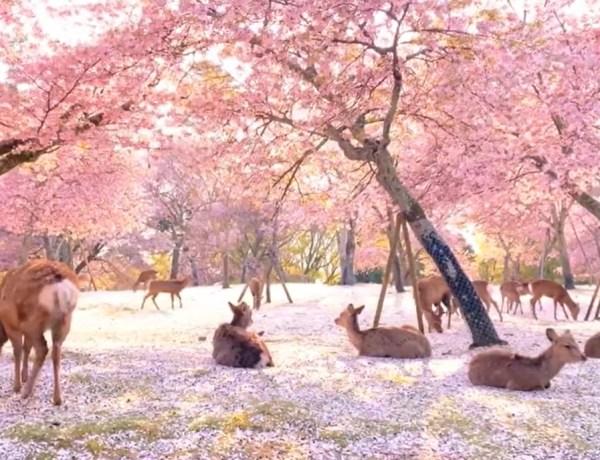VIDEO: Sakura u Nara parku u Japanu