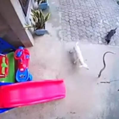 Psi odbranili bebu od kobre, jedan uginuo drugi oslijepio
