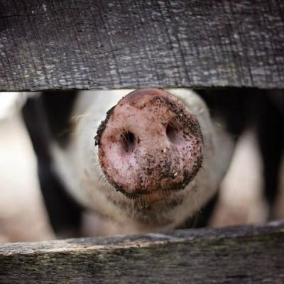 Zabranjen uvoz svinja i svinjskog mesa iz Srbije