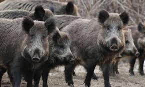 Divlje svinje uništile vrtove