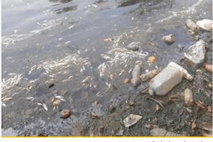 Tužilaštvo naložilo pregled fabričkih postrojenja uz obalu Lima zbog pomora ribe