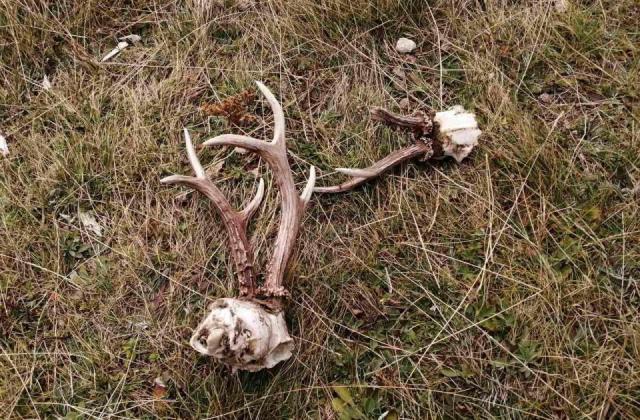 Čopori napadaju stada i uništavaju srneću divljač