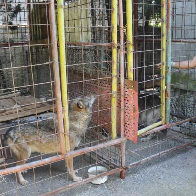 Potjera u Podgorici: Tološi na nogama, juri se vuk