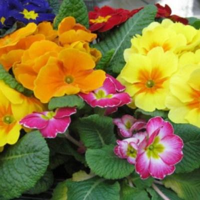 JAGORČEVINA JE SAVRŠEN UKRAS SVAKE BAŠTE, ALI I VEOMA KORISNA ZA ZDRAVLJE: Ovako se gaji ova biljka raskošnih cvjetova!