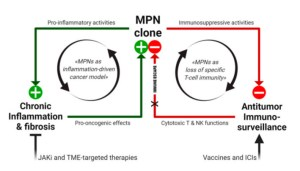 Working model of MPN immunopathogenesis and related immunotherapeutic strategies