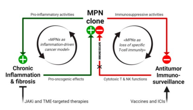 Working model of MPN immunopathogenesis and related immunotherapeutic strategies