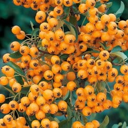 Pyracantha 'Golden Charmer' which has golden yellow berries