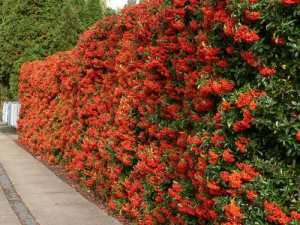 Pyracantha hedge with orange berries, flower summer, produce berries in Autumn and winter