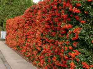 picture of pyracantha coccinea hedge