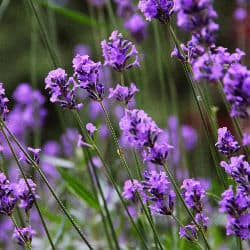 lavender which is a natural cat repellent is usually sold as a garden herb