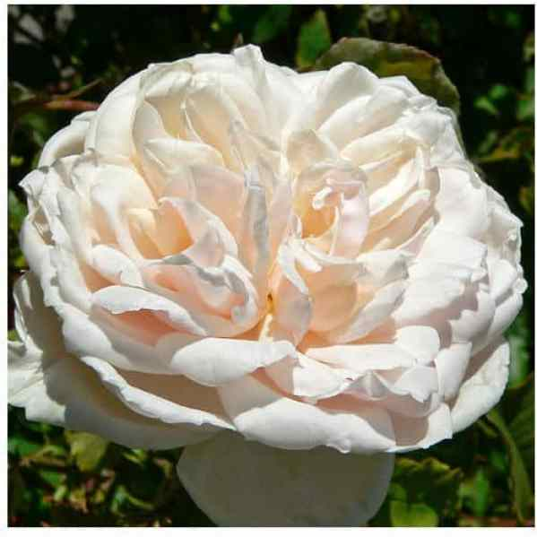 Madame Alfred Carriere white climbing rose