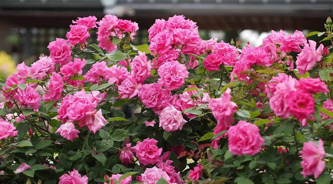 Top 10 Best Climbing Roses For Your Garden Pyracantha