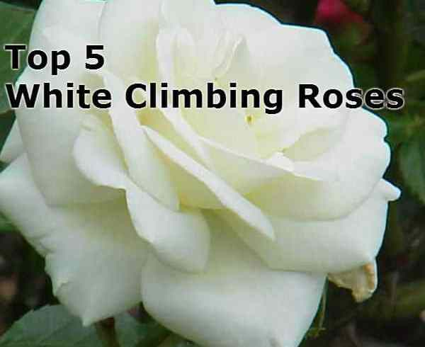 Top 5 White Climbing Roses – Compare fragrance, disease resistance and more