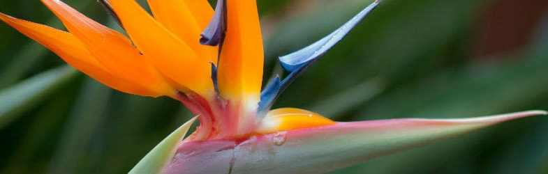 Bird of Paradise plant – How to grow this tropical plant