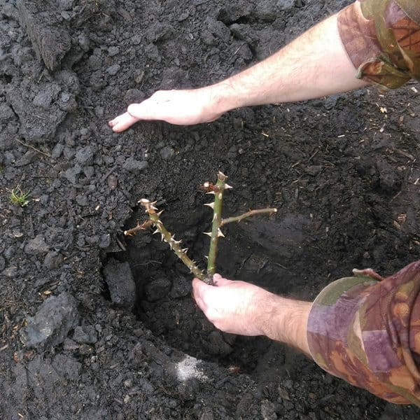 how to plant bare root rose step4