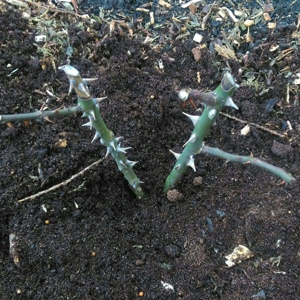how to plant bare root rose step6