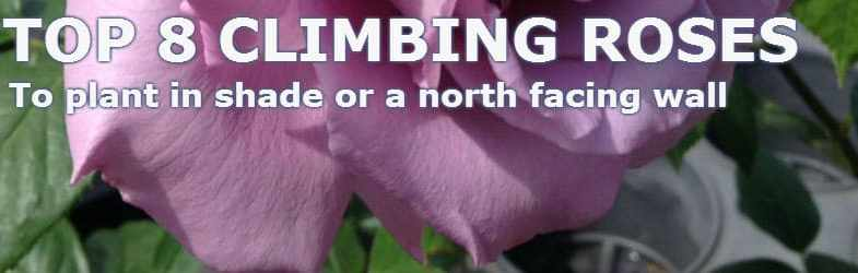 Top 8 climbing roses for shade or a north facing wall