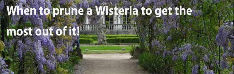 When to prune wisteria to get more flowers