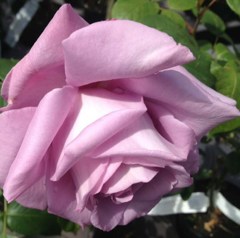 BLUE MOON climbing rose