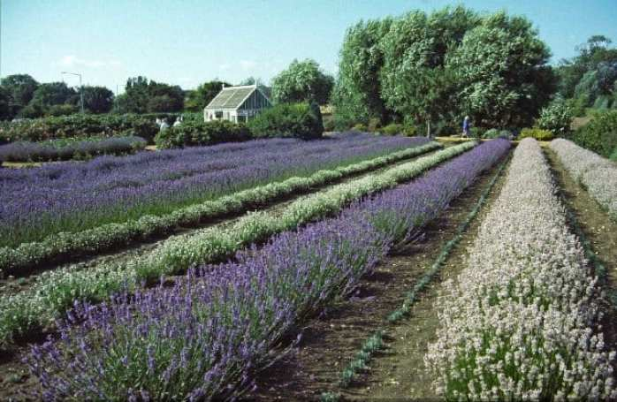 Lavender grown as a hedge