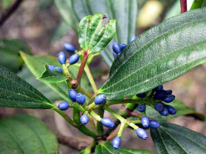 Viburnum davidii fruits