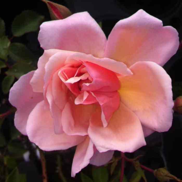 albertine rambling rose