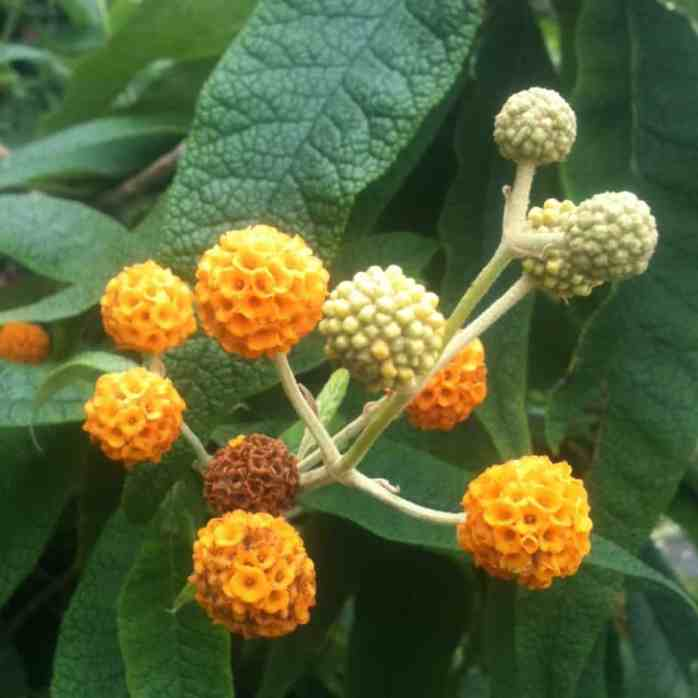 buddleia globosa is an example of of cultivar not to prune back. Remove faded flowers after flowering only