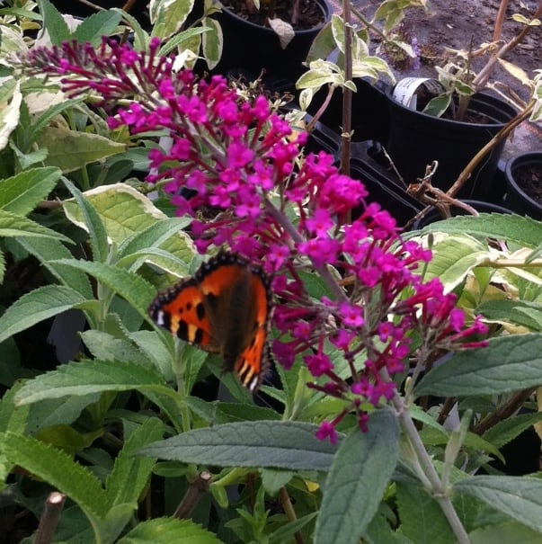 Buddleia Royal Red that can be pruned back hard with butterfly on. Prune back in spring when good growth has started to shoot. cut previous years growth