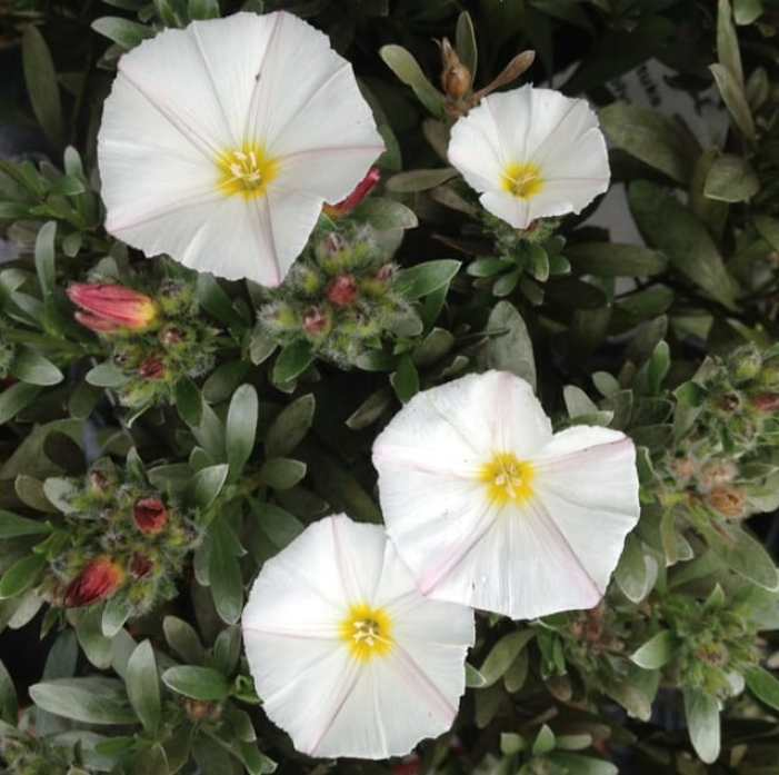 convolvulus cneorum flowers