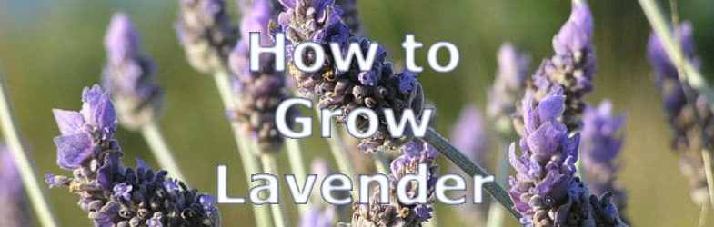 Lavender Plants – Growing tips, cultivation and pruning