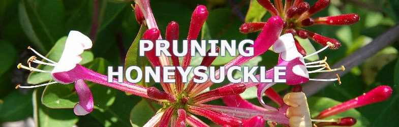 Pruning Honeysuckle – When and how to prune Lonicera