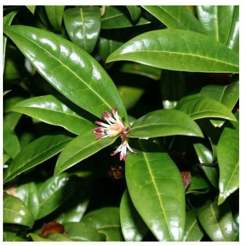 sarcococca hookeriana evergreen shrub