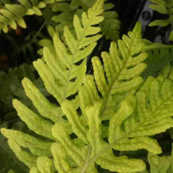 Polymultifidum vulgare small evergreen griund spreading spreading fern