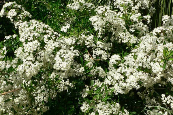 Pyracantha rogersiana is an evergreens shrub ideal for hedging or as a wall shrub