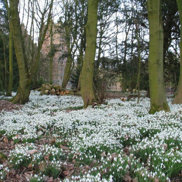 Snowdrops under trees flowering in early spring